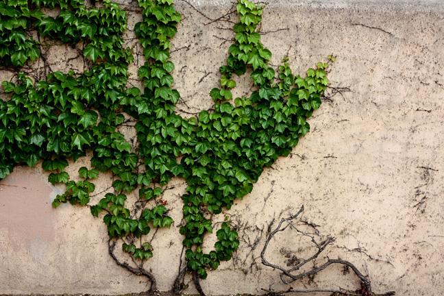 vines15